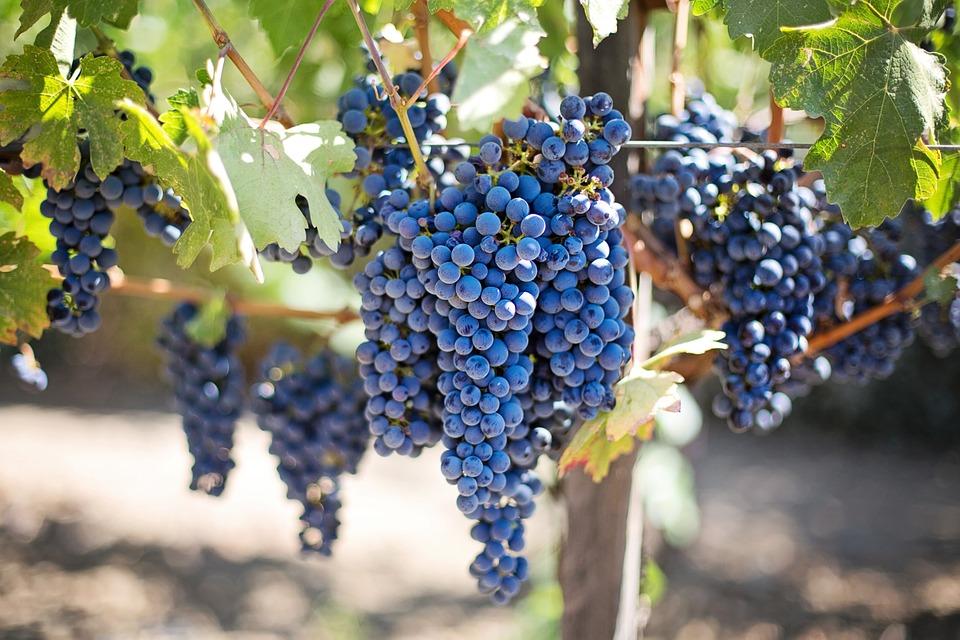 vino primitivo
