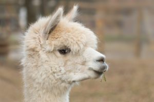 maglioni in alpaca