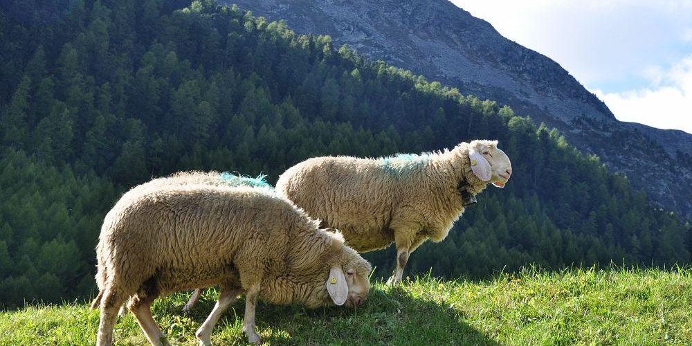 pecora della Val Senales